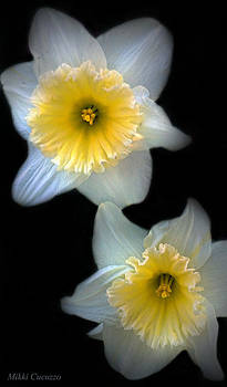 Daffodils on Black by Mikki Cucuzzo