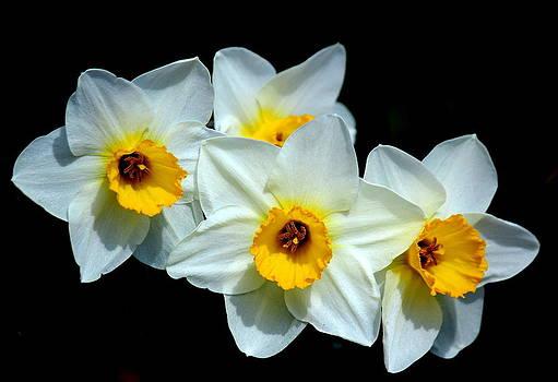 Rosanne Jordan - Daffodils