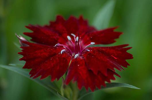 Marilyn Wilson - Dianthus Flower