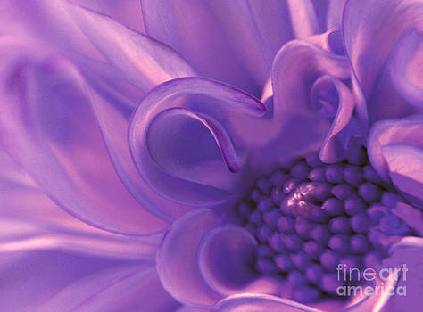 Dahlia Swirl Lavender by Olivia Hardwicke