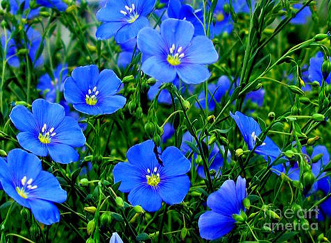 Dainty Blue Flax Linum by Margaret Newcomb