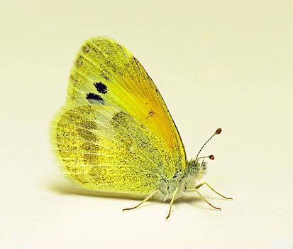 Dainty Sulphur Butterfly by Walter Klockers