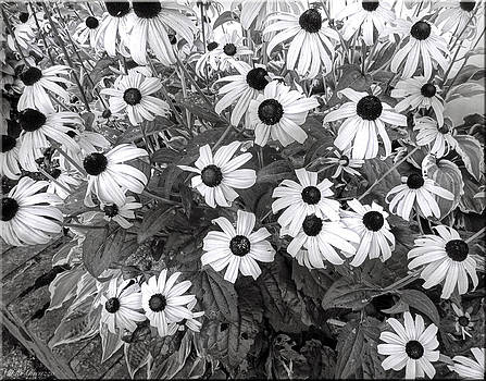 Daisies in black and white by Mikki Cucuzzo