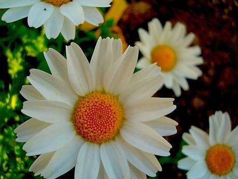 Daisy 1 by Tamara Bettencourt