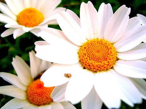 Daisy 2 by Tamara Bettencourt