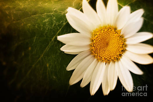 Mythja  Photography - Daisy background