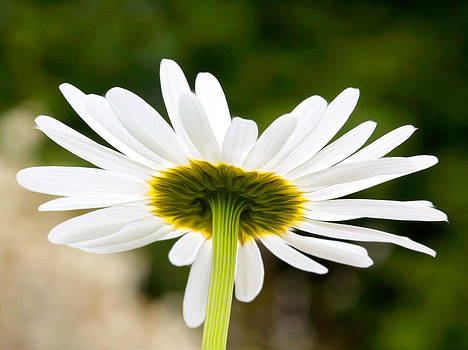 Daisy by Bobbi Feasel