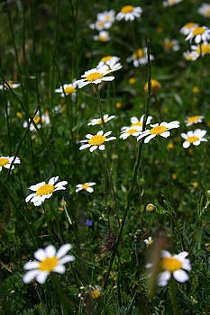 Daisy by Fraser McCulloch