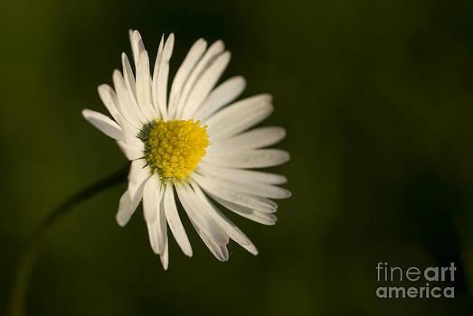 Daisy in the field by Danny Motshagen