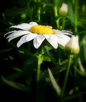 Daisy by Kerry Hauser