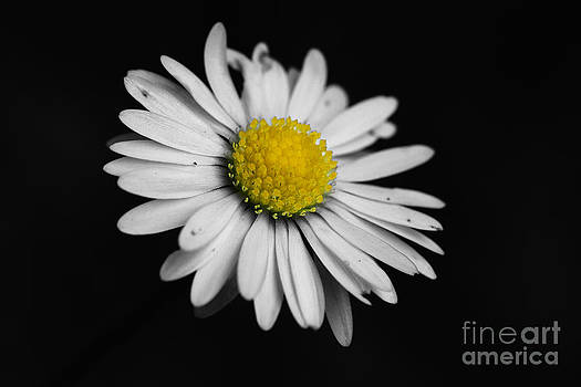 Daisy by Lisa Cockrell