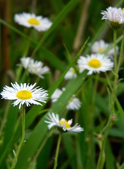 Daisy Meadow by Michelle Frizzell-Thompson