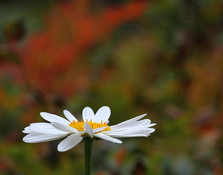 Daisy by Old Pueblo Photography