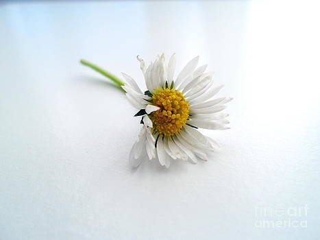 Daisy by Phil Paynter