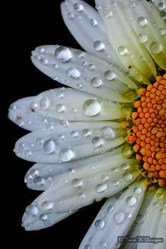 Daisy Rain by Terri K Designs