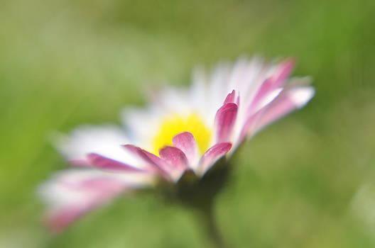Daisy by Reka Lendvai
