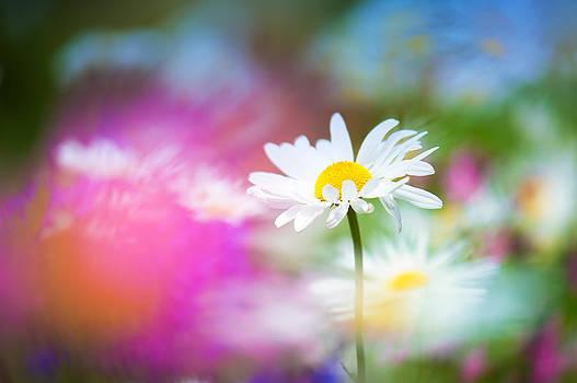 Daisy Shine by Sarah-fiona  Helme