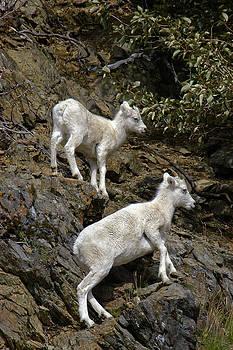 Dall Sheep 3 by David Marr