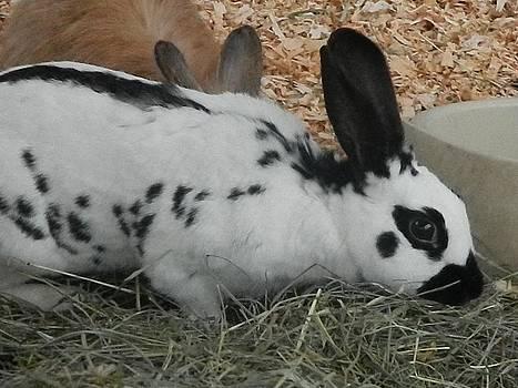 Nicki Bennett - Dalmatian Rabbit