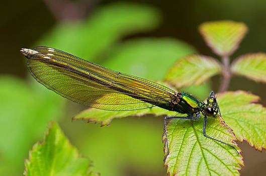 Damselfly by Pete Hemington
