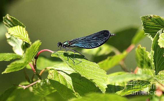 Damselfly showy by Mika Uusitalo