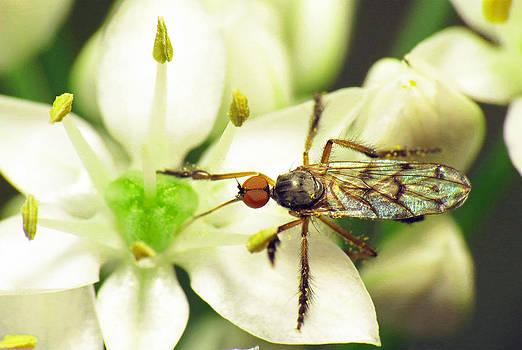 Dancefly on Onion Flower by Walter Klockers