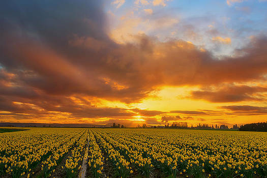 Dances with the Daffodils by Ryan Manuel
