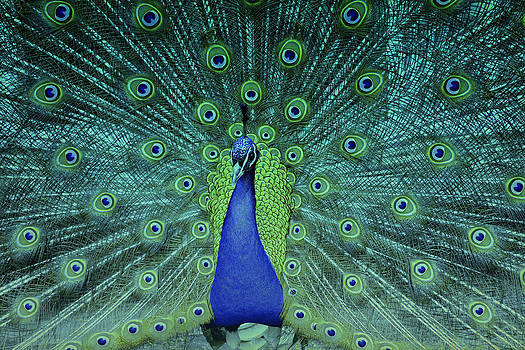 Dancing peacock by Nadeesha Jayamanne