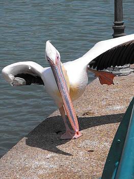 Dancing Pelican by Lionel Gaffen