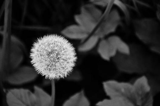 Dandelion in the Spring by Kim Fry