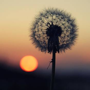 Dandelion In The Sunset by Anne Macdonald