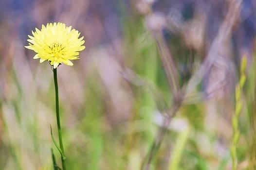 Dandelion by Lorri Crossno