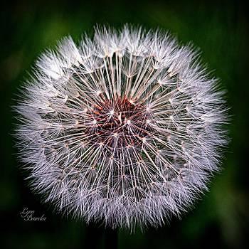 Dandelion by Lynn Bawden