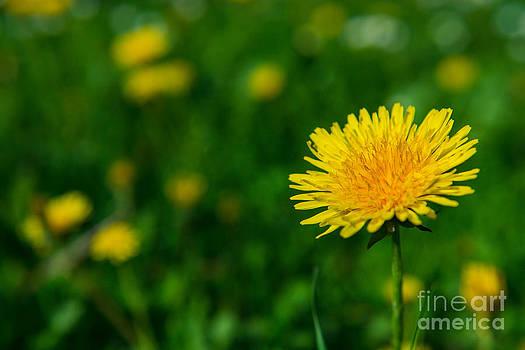 Dandelion Meadow by Hannes Cmarits