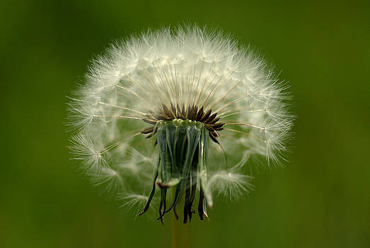 Dandelion by Pete Hemington