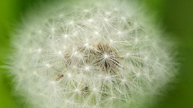 Dandelion by Samantha Murray