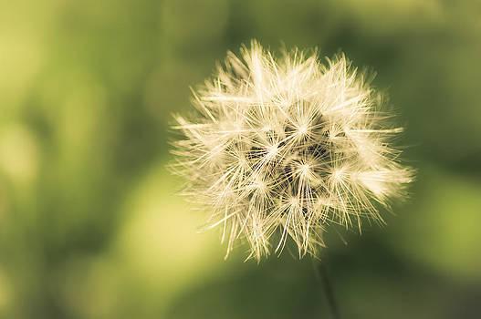 Dandelion Warmth by Jen Baptist