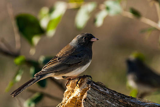 Dark-eyed Junco by Jim Johnson