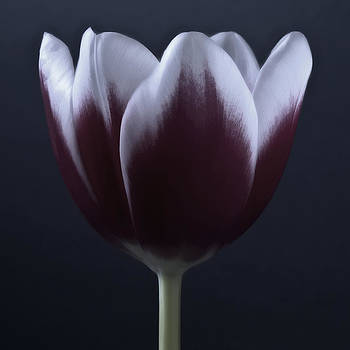 Black And White Purple Tulips Flowers Art Work Photography by Artecco Fine Art Photography