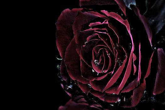 Dark rose by Ann-Charlotte Fjaerevik