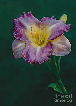 Daylily Bloom In Magenta Beauty by ImagesAsArt Photos And Graphics