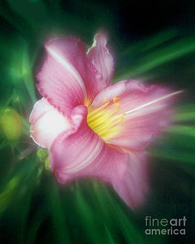 Daylily Dreams by ImagesAsArt Photos And Graphics