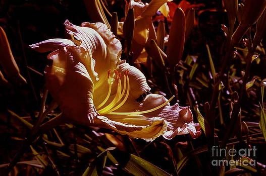 Daylily Flower At Sunset by ImagesAsArt Photos And Graphics