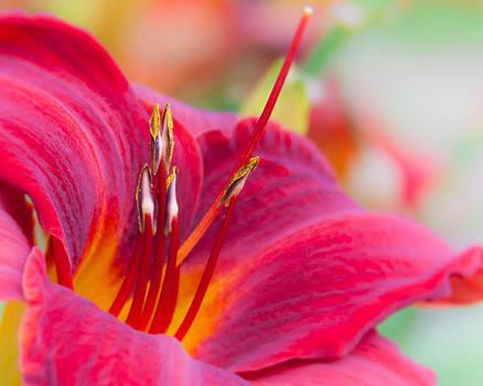 Daylily by Lynne Jenkins