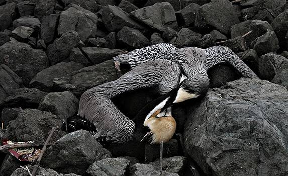 Dead Pelican Trash and Creosote Covered Rocks by Elery Oxford