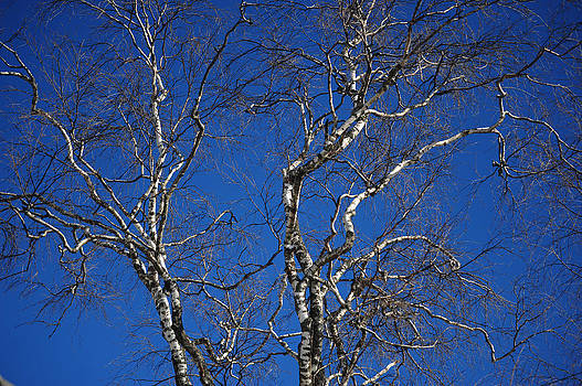 Jenny Rainbow - Deep Blue Sky and Birch Tree