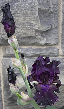 Deep Purple Iris by Alfredia Mealing