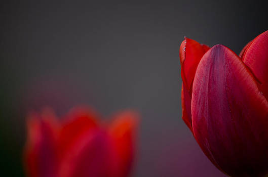 Deep Red Tulip by Kelly Anderson