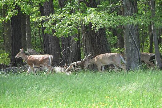 Deer in a Group by Debbie Nester
