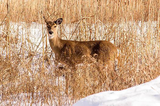 Deer in a snowy field by Robert Painter